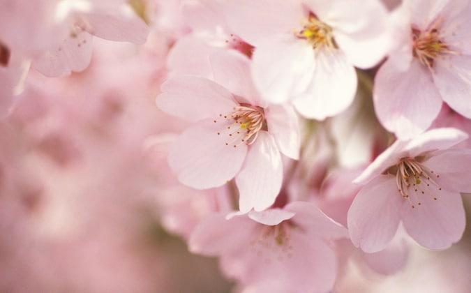 桜咲く春 お花見特集2018