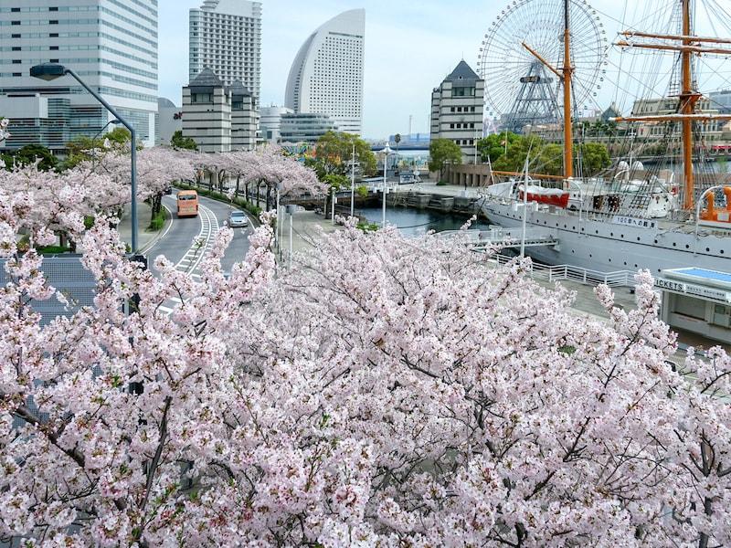 横浜お花見スポット! 桜名所おすすめ19選【2021年最新】