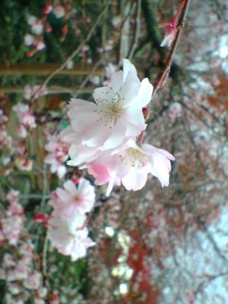 秋から春に咲く大原・実光院の不断桜/京都