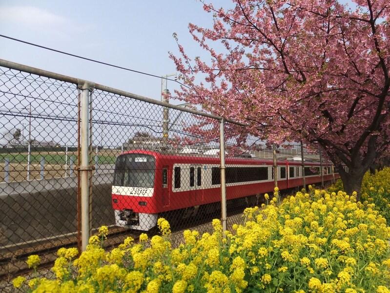 三浦海岸の河津桜で、一足早く春を捕まえよう!2018