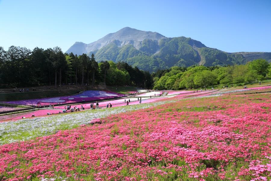 ピンク色の絨毯!秩父・羊山公園の芝桜2018年の見頃