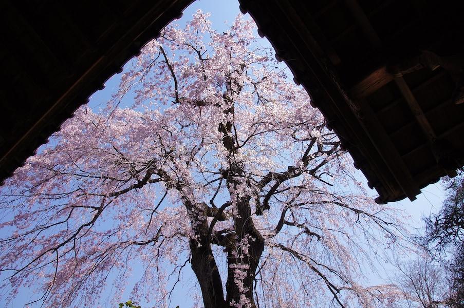川越の桜名所5選!小江戸で楽しむお花見スポット2018
