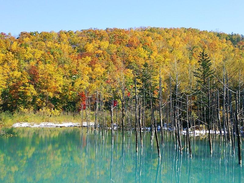美瑛の紅葉で癒される!絶景・秋の青い池とブルーリバー