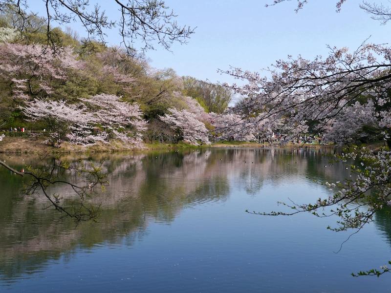 三ツ池公園で桜のお花見!2019年桜の見頃、混雑は