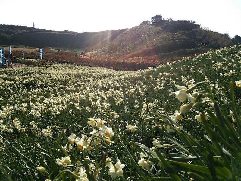 下田・爪木崎 「水仙まつり」で一足早い春を楽しもう