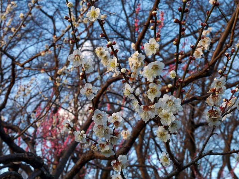 横浜で梅のお花見が楽しめる公園・名所・梅まつり2020