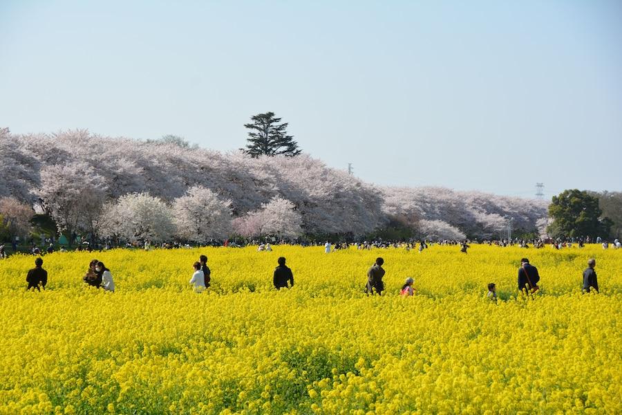 幸手・権現堂桜堤 桜と菜の花の絶景コントラスト!