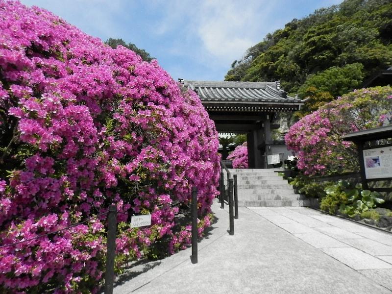 春の鎌倉で花めぐり ツツジやフジを楽しむ散歩コース