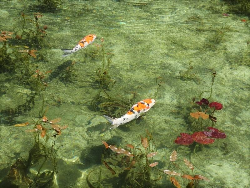 「モネの池」として話題!岐阜県で見れる絵画の世界