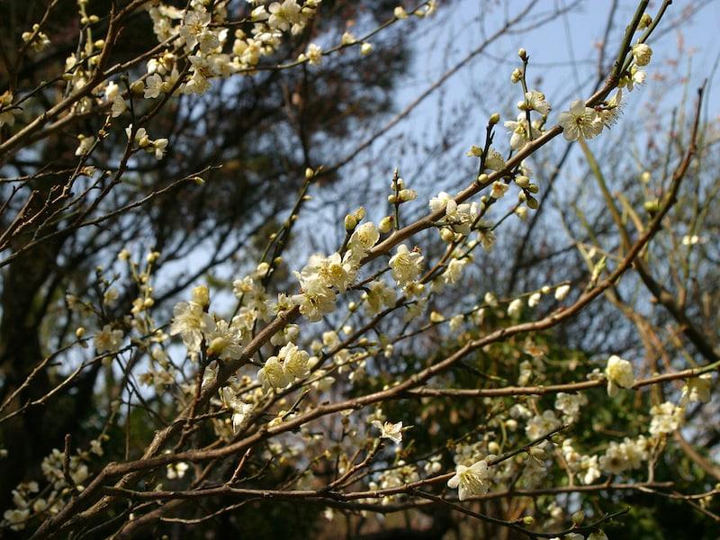 横浜が誇る日本庭園・三溪園で梅を愛でる