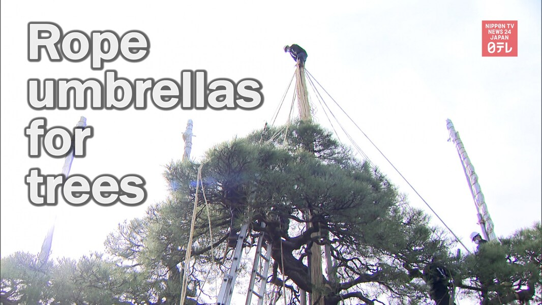 See How Trees Get Their Winter Rope Umbrellas