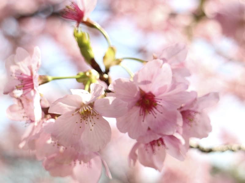 鎌倉の桜 お花見名所・穴場スポット10選【2018年版】