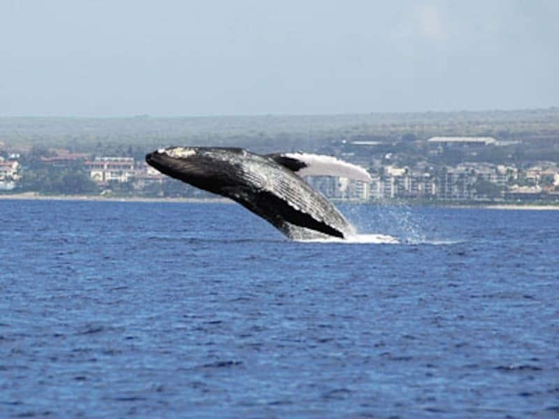 ウォッチングボートで迫力満点のクジラのパフォーマンスが見学できる