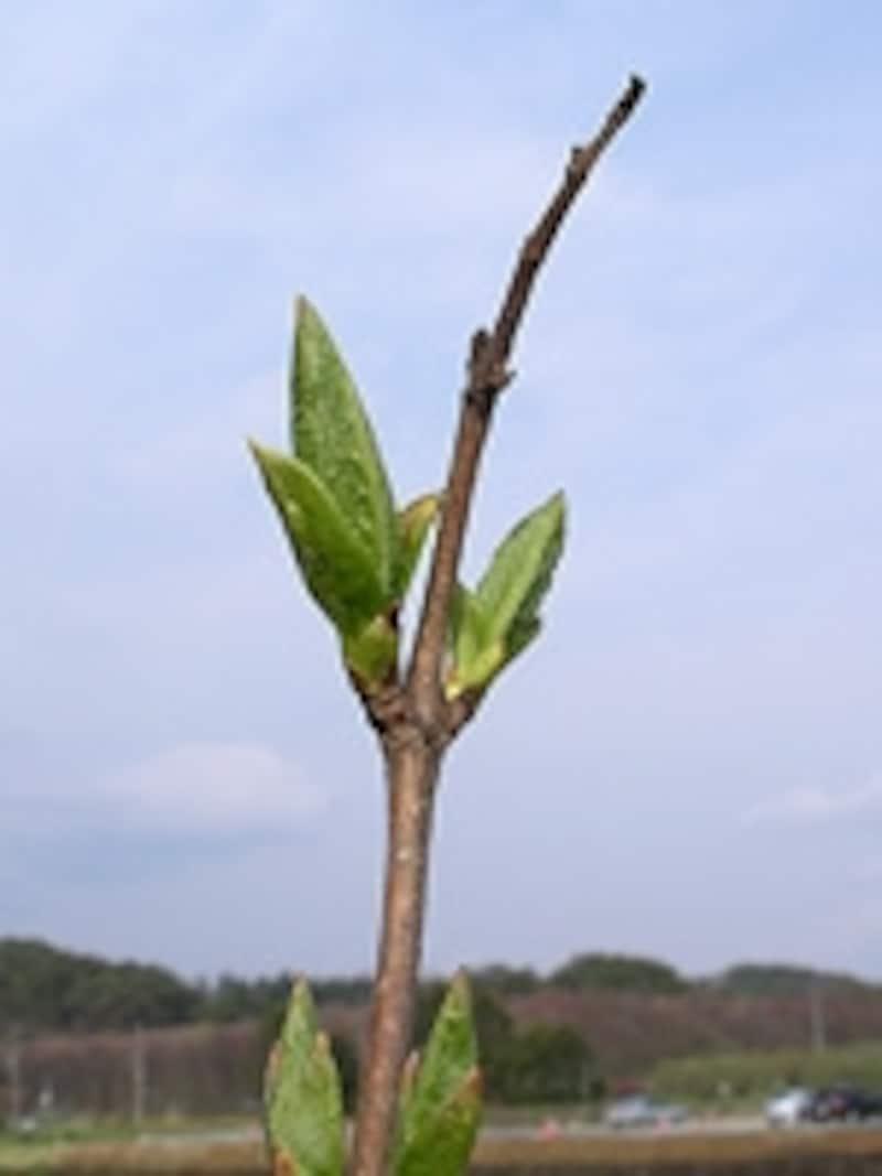 落葉樹の芽吹き