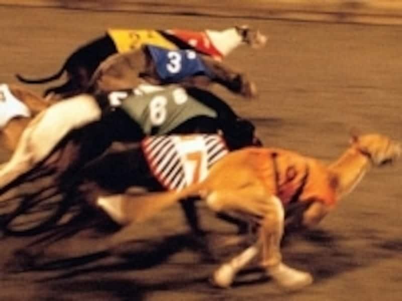 一生懸命ゴールへ向かって疾走するグレイハウンド犬