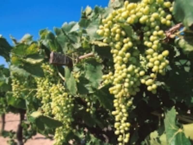 南バハカリフォルニア州ワイン農園undefined©メキシコ観光局/PabloDeAguinaco