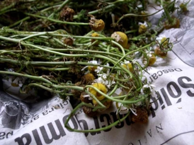 マンサニージャ(カモミール)の花を乾燥させたものをお茶にする