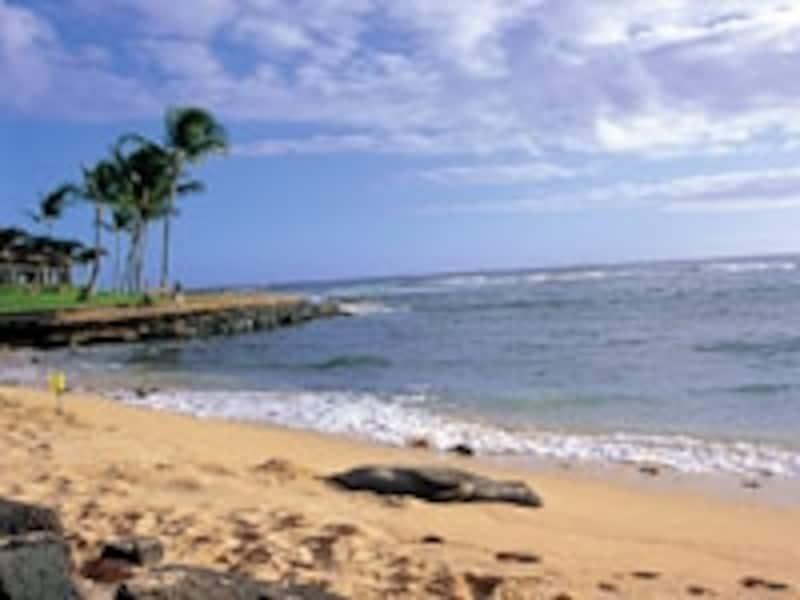 ポイプビーチで日光浴するハワイアン・モンクシール(写真協力:ハワイ州観光局)