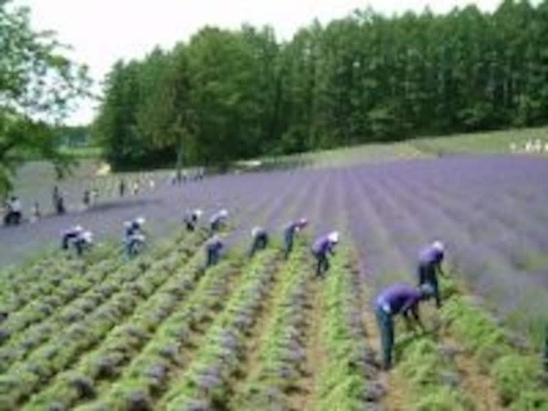 ファーム富田(3)/ラベンダーの収穫作業