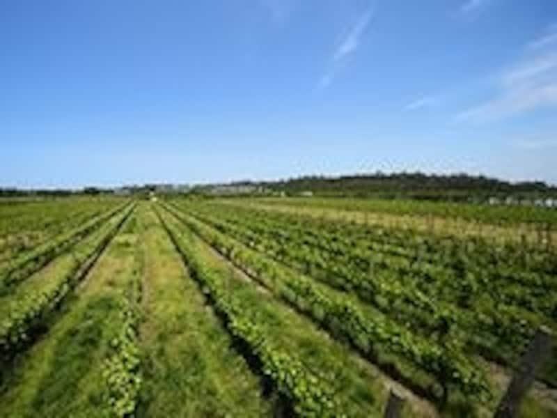 眼前に広がる広大なワイン畑。見るだけで癒し効果たっぷり