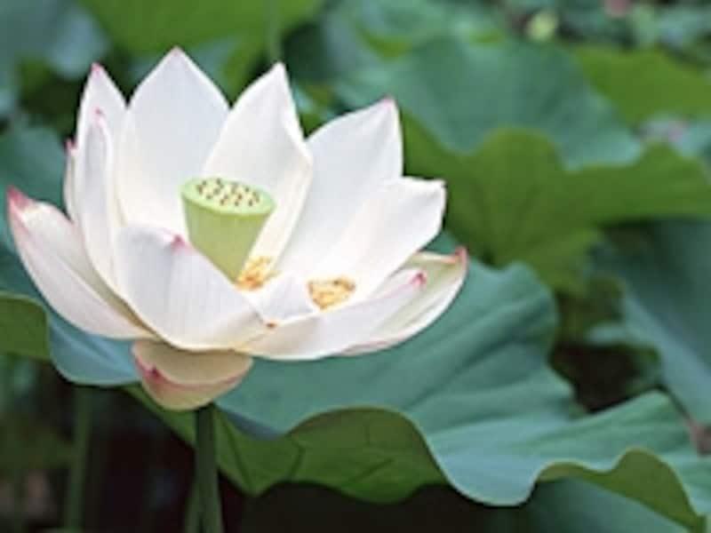 ハスは代表的な水生植物