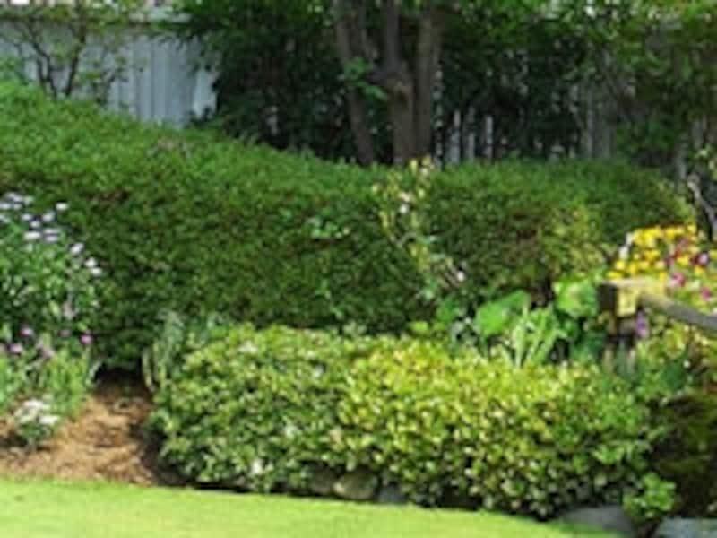 列植して目隠しや庭の背景にも