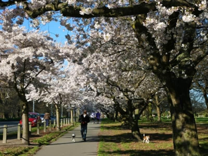 南島中央部・クライストチャーチのハグレーパーク。春には桜が満開になる