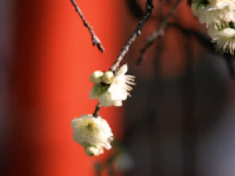 「梅」は早春を象徴する色。