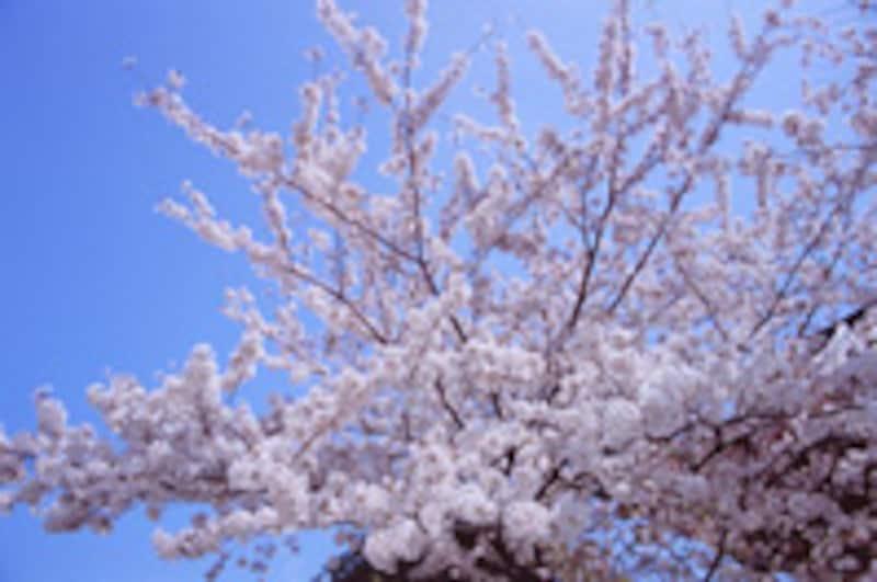 日本人にとって花といえば、桜。平安時代から、花の盛りには「花の宴」が催されてきました。