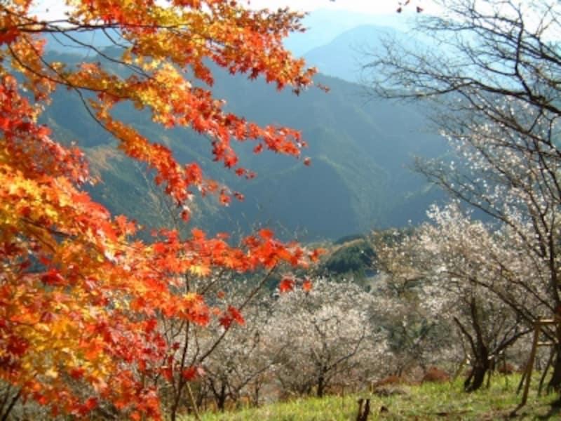 桜山公園の紅葉と冬桜のコラボレーション