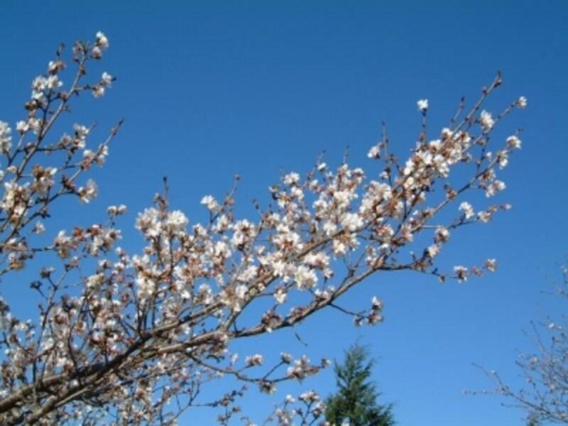 桜山公園の冬桜(1)