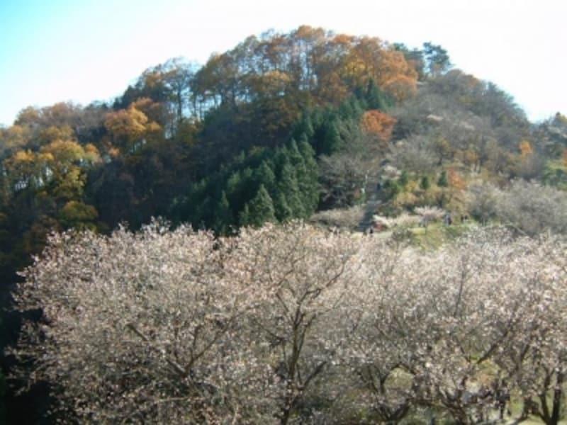 桜山公園の冬桜(2)