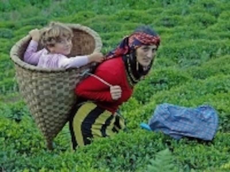 黒海沿岸は湿潤な気候でチャイの葉の産地としても有名