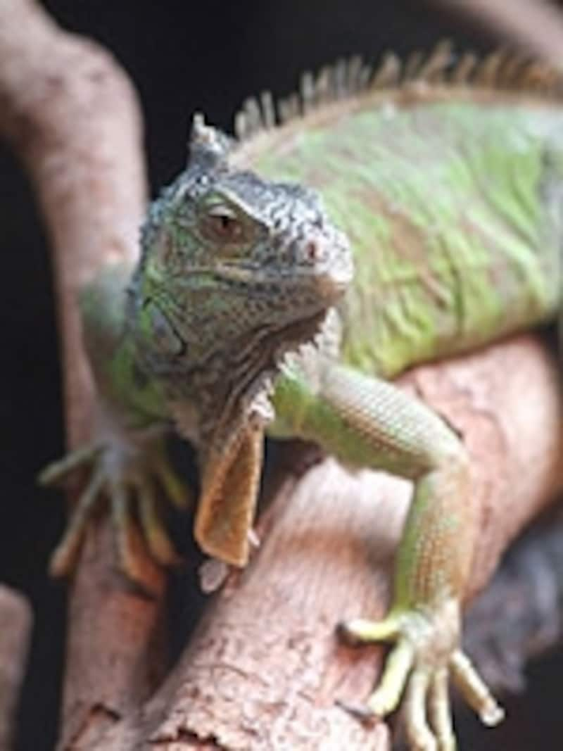 ちょっと冷たげな目線を投げかける爬虫類だが、動きがなんとも愛らしい