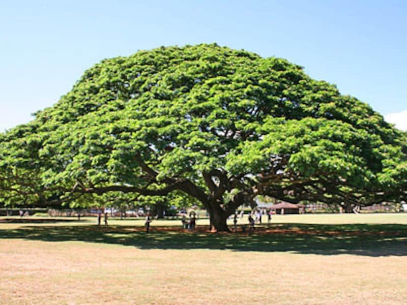 日立の樹で有名なモアナルアガーデン。バスやトロリーで行きにくい場所も、貸切チャーターでラクラク観光