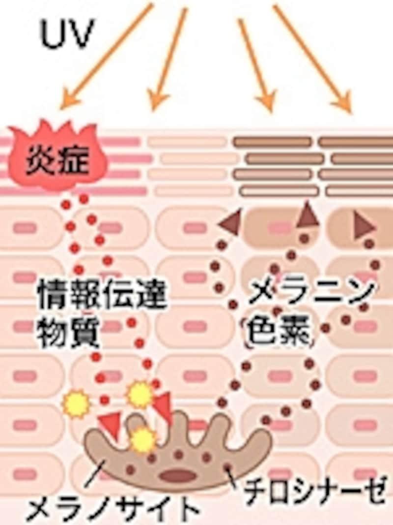UVBは肌を火傷のような状態にする。UVBから肌を守るためにメラニン色素が活発に働いて肌色を黒くさせて紫外線をブロックする