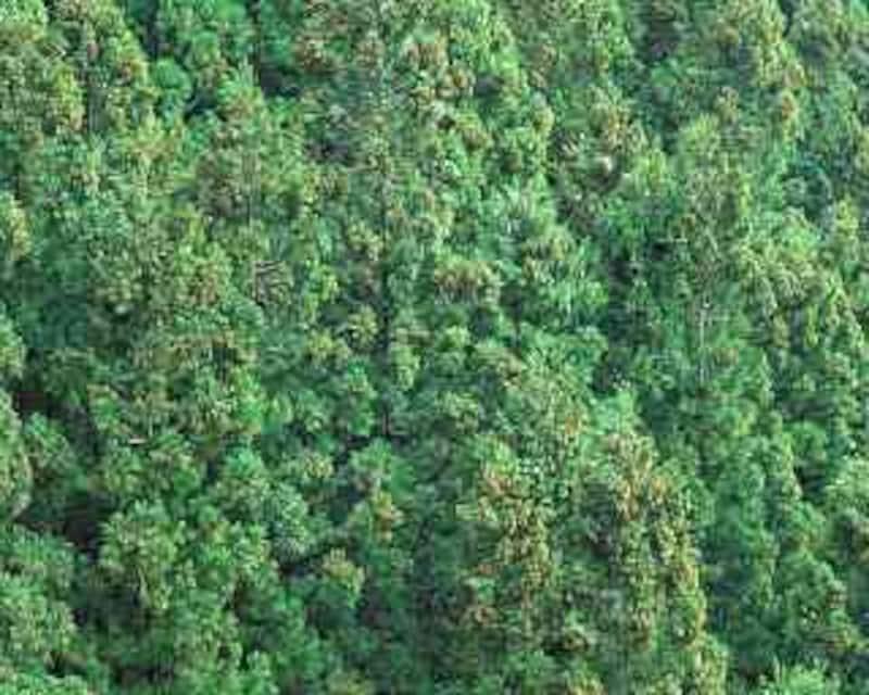 スギのある森林は増え続けています