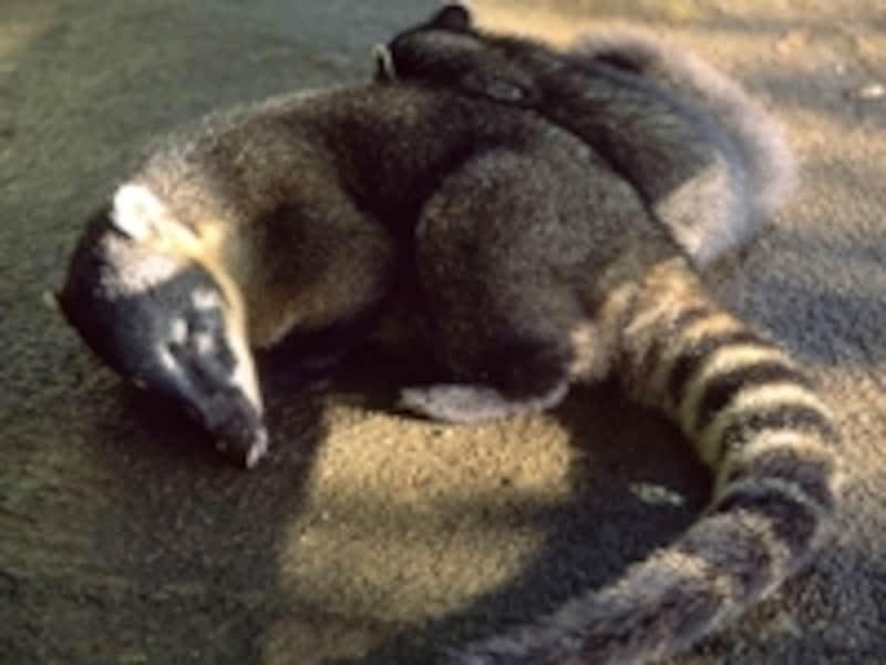サファリ・ツアーでよく見かけたアナグマ。生態系を守るため、観光客に開放されているのは国立公園のわずか5% ©牧哲雄
