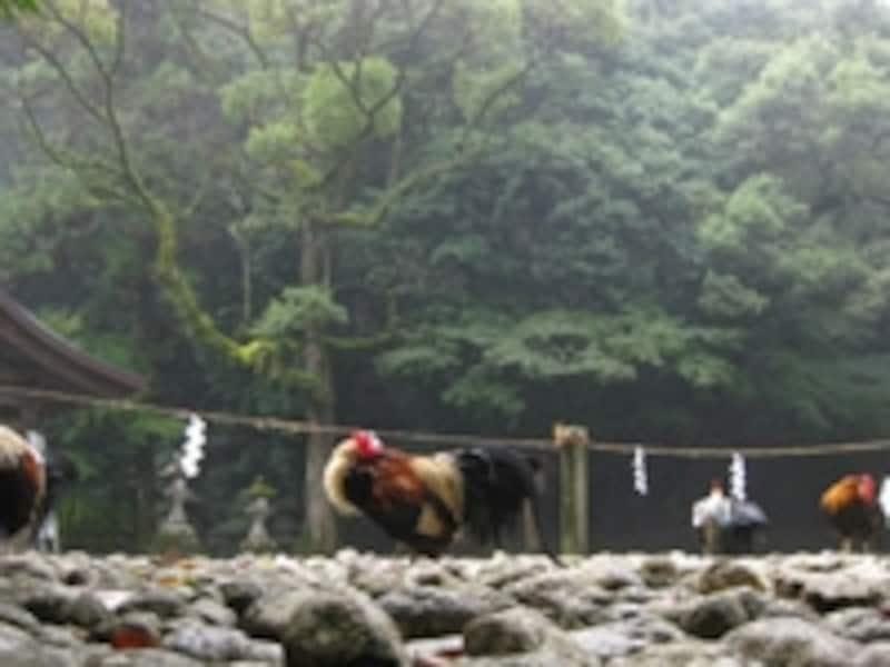 神社名物の野生の鶏