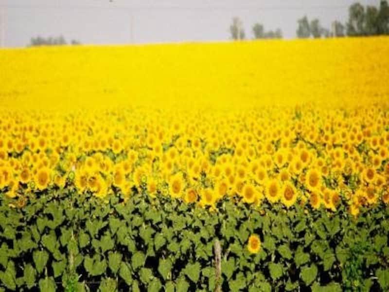 一面の向日葵畑が車窓から見られるアンダルシア地方