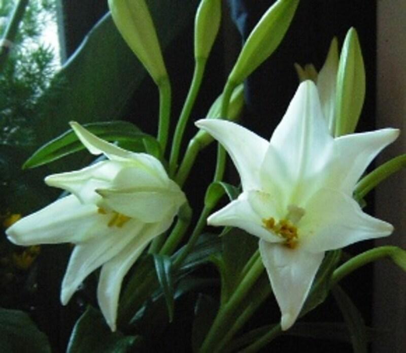 凛とした姿が清楚なイメージの花「ゆり」