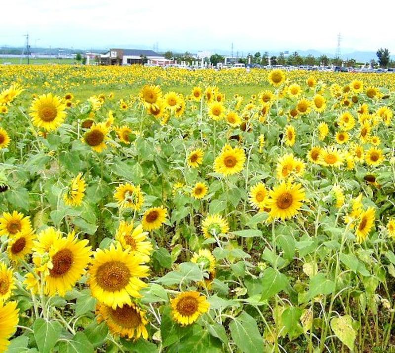元気いっぱいに咲いているヒマワリ畑