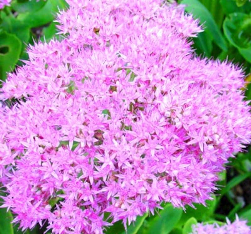 可愛い小花がいっぱいの弁慶草