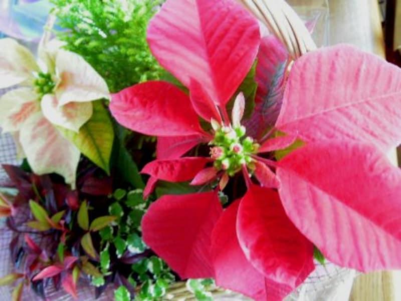 赤×緑がきれいなポインセチア