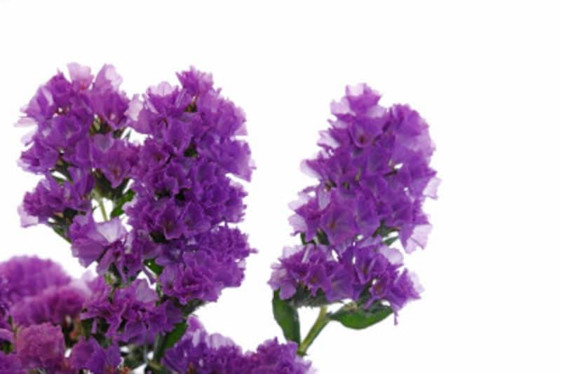 カサカサの花、スターチスの基本情報