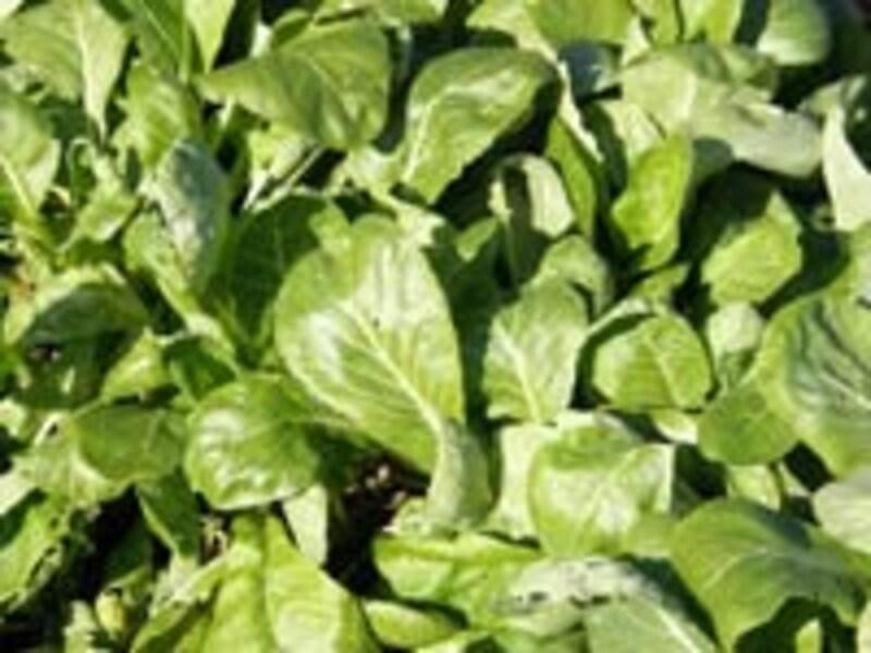 冬野菜はビタミン、ミネラルが豊富