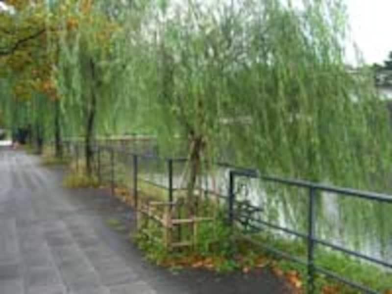 桜田橋~祝田橋の凱旋壕端の柳は、銀座の柳の2世、3世。このあたりが一番低いか
