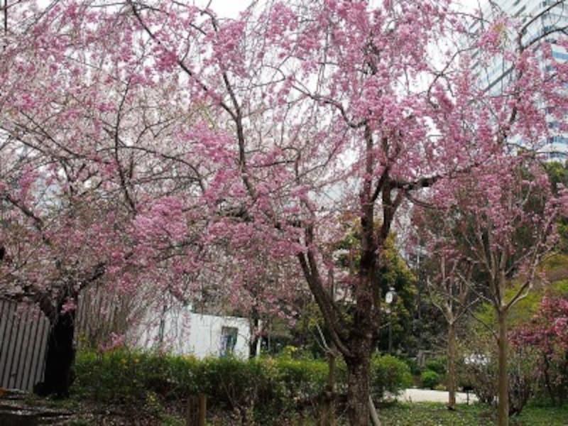 ソメイヨシノの花が終わったあと4月の半ばごろから開花し、長い期間咲き続ける