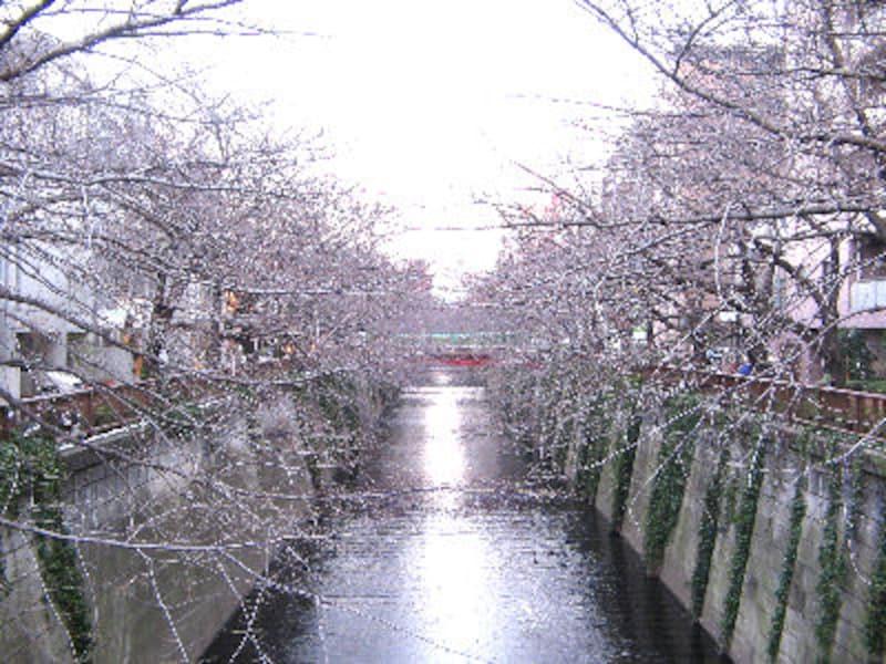 今年の桜は目黒川