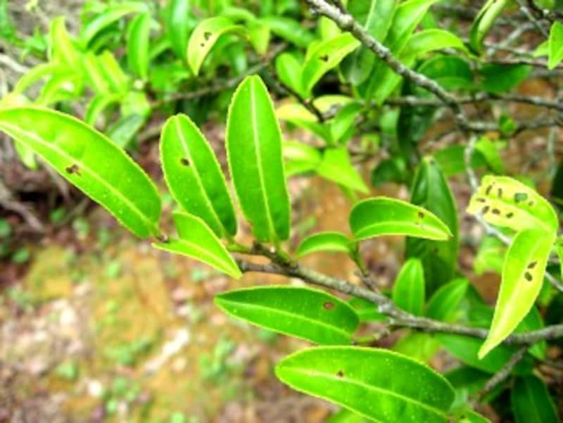 無農薬のため虫に食われた跡のある茶葉